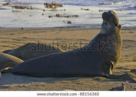 Bull Elephant Seal bellows for dominance on San Simeon Beach - stock photo