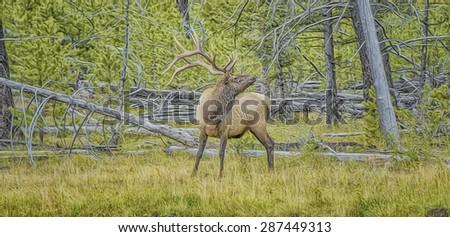 Bull elk bugling in Yellowstone National Park,digital oil painting - stock photo