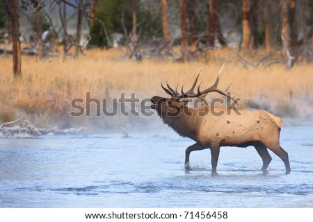 Bull elk bugling while crossing a river on a cold autumn morning. - stock photo