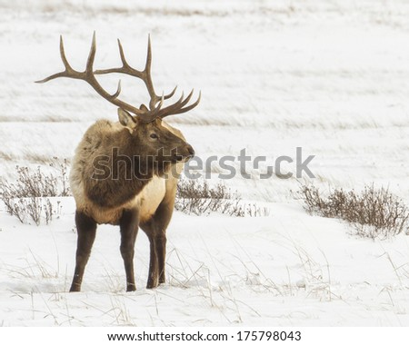 Bull elk found in winter in Jackson Hole Wyoming near the National elk refuge. - stock photo