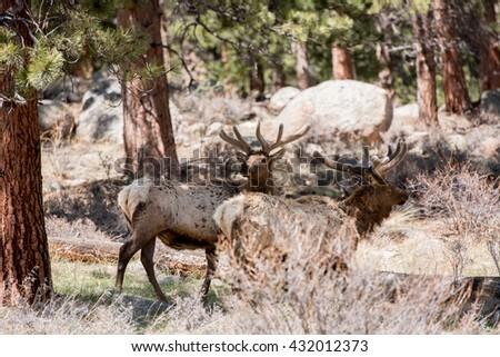Bull elk in Colorado - stock photo