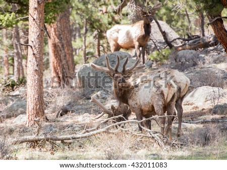 Bull elk in Colorado looking at photographer - stock photo