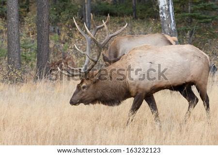 Bull Elk in Jasper National Park - stock photo