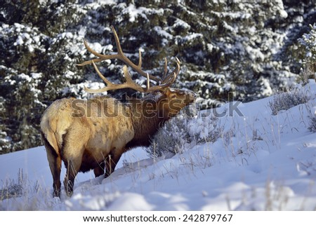 Bull Elk in snow forest in Yellowstone National Park. - stock photo