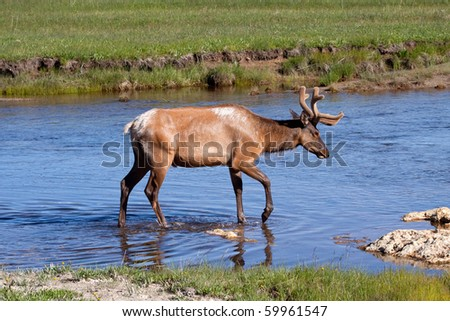 Bull Elk in Stream - stock photo