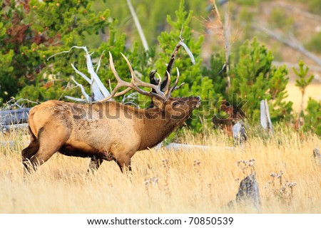 Bull elk moving through field of tall golden grass in fall, Yellowstone. - stock photo