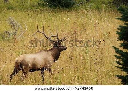 Bull Elk Walking In The Grass - stock photo