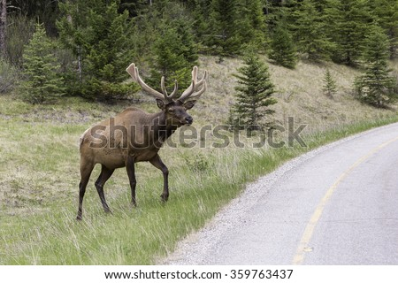 Bull Elk Walking Near Roadway in Banff National Park, Alberta - stock photo