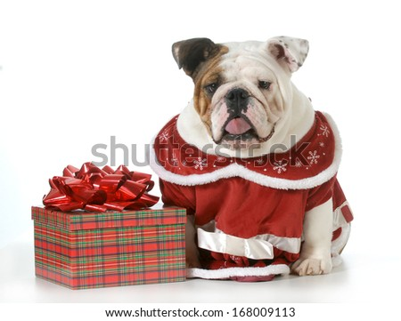 bull humbug - english bulldog making sour expression sitting beside wrapped christmas gift  - stock photo