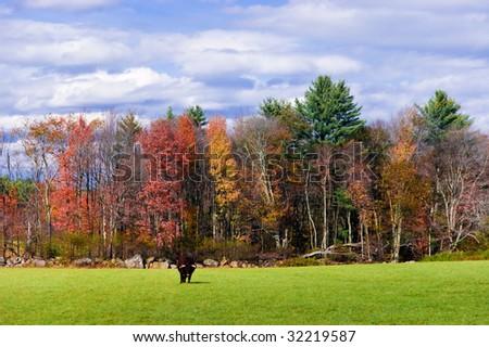 Bull in a field in Autumn - stock photo
