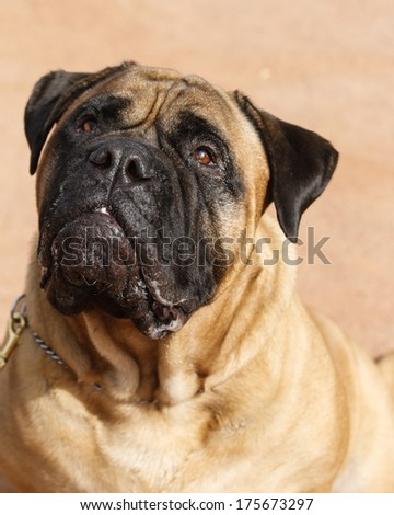 Bull Mastiff looking up for natural portrait - stock photo