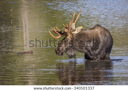 Bull Moose (Alces alces) with a Large Set of Antlers Foraging at the Edge of a Lake in Autumn - Algonquin Provincial Park, Ontario, Canada - stock photo