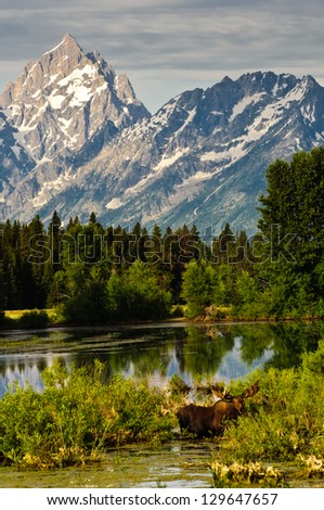 Bull Moose at a lakeside and the Tetons Mountains behind - stock photo