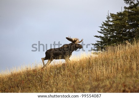 Bull moose in the Cypress Hills Park - stock photo