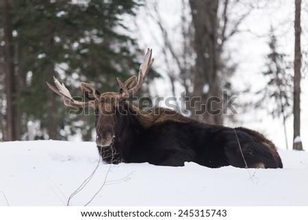 Bull Moose in winter - stock photo