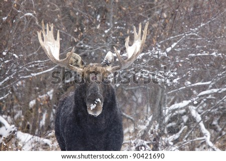 Bull Moose in Winter Saskatchewan Canada close up - stock photo