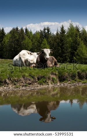 bull on a lake - stock photo