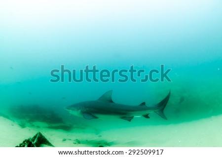 Bull Shark, Cabo Pulmo. Mexico - stock photo