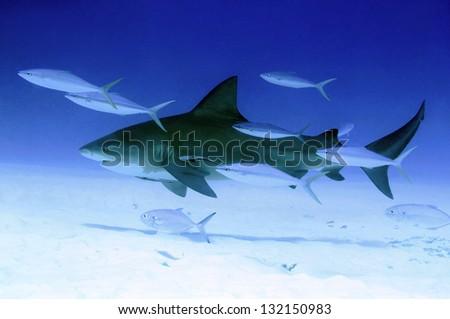 Bull Shark (Carcharhinus Leucas), Playa del Carmen, Mexico - stock photo