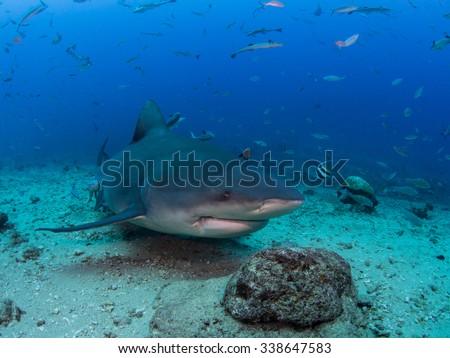 Bull Shark Profile  - stock photo