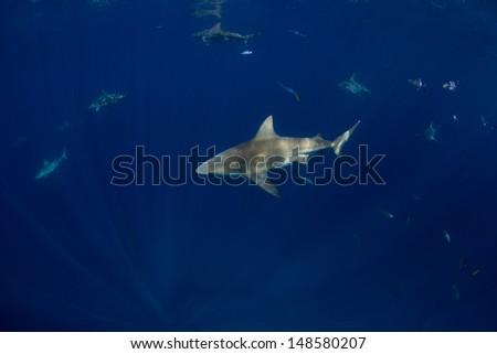Bull Sharks in the Bahamas - stock photo