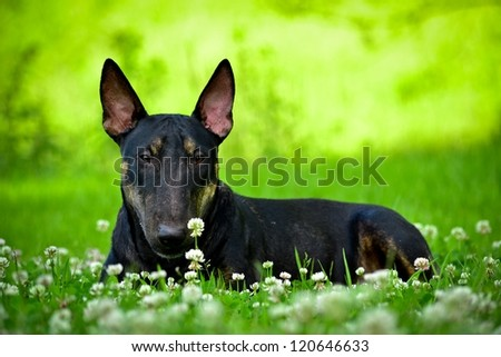 bull terrier black - stock photo