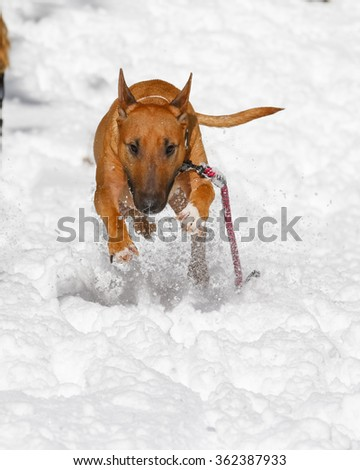 Bull Terrier leaping towards the camera in the snow - stock photo