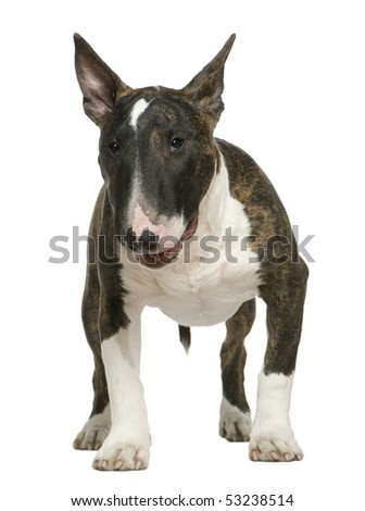 Bull Terrier, 6 months old, standing in front of white background - stock photo