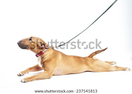 Bull terrier on a white background - stock photo