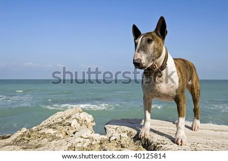 Bull terrier on the rocks. - stock photo