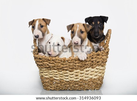 Bull Terrier puppies in a basket - stock photo