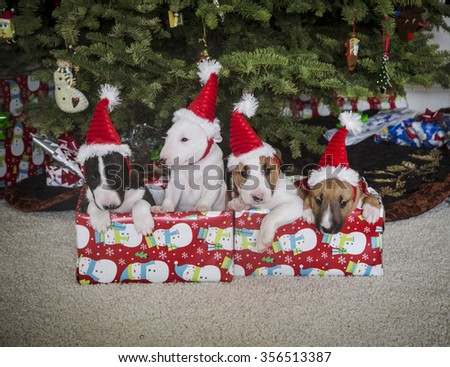 Bull Terrier puppies inside their presents in funny Santa hats in front of the Christmas tree - stock photo