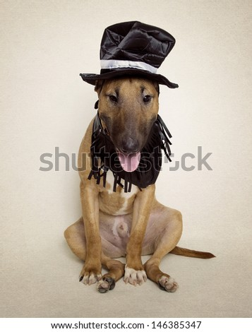 Bull Terrier puppy dressed up in hat and fringe collar - stock photo