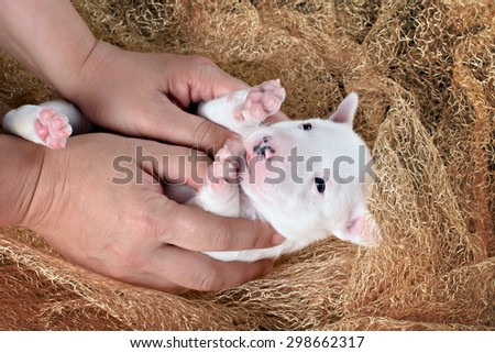 Bull Terrier puppy in decorated studio - stock photo
