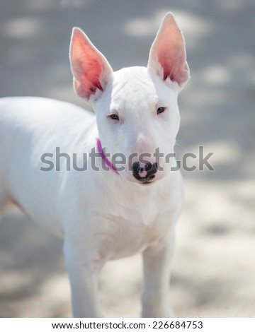 Bull terrier puppy posing for a photo - stock photo