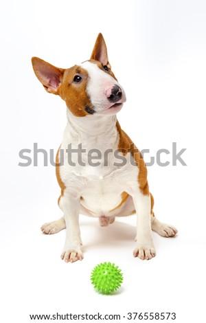Bull terrier sitting near green spiked ball, pedigree dog, studio shot, isolated on white background  - stock photo