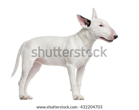 Bull Terrier standing up and looking away, isolated on white - stock photo
