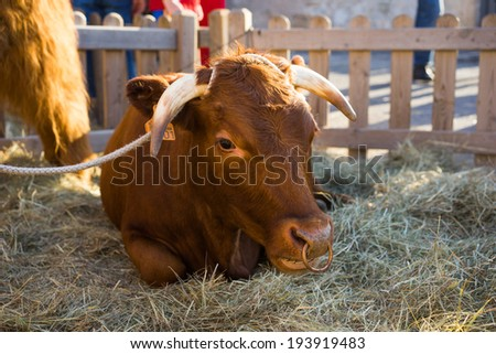 Bull with a ring through its nose lying down resting in hay in an enclosure surrounded by a wooden picket fence - stock photo