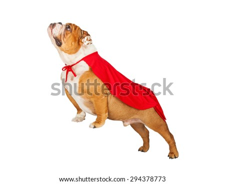 Bulldog breed dog wearing a red super hero cape with legs raised up as if he is flying - stock photo