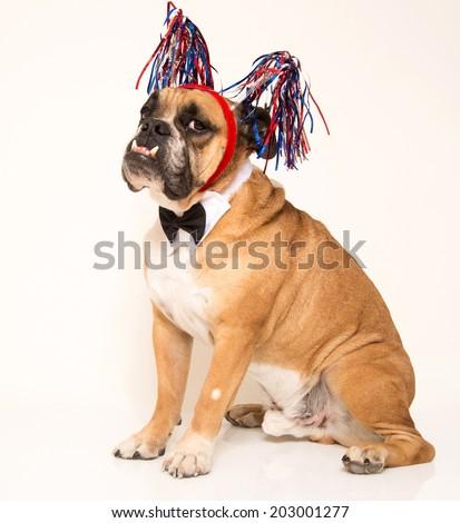 Bulldog dressed in his 4th of July holiday streamer headband - stock photo