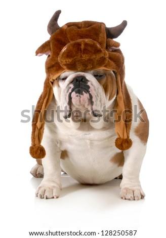 bulldog - english bulldog dressed up like a bull isolated on white background - stock photo