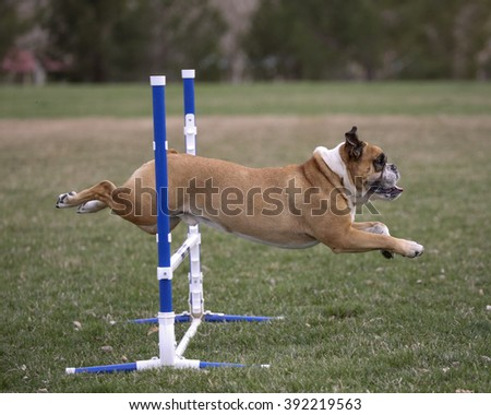 Bulldog going over an agility jump, side view - stock photo