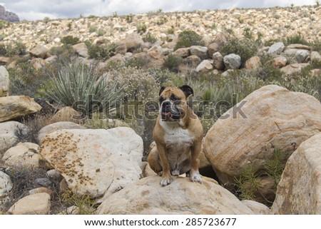 Bulldog in the desert - stock photo