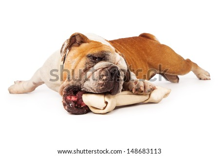 Bulldog laying against a white background chewing on a bone - stock photo