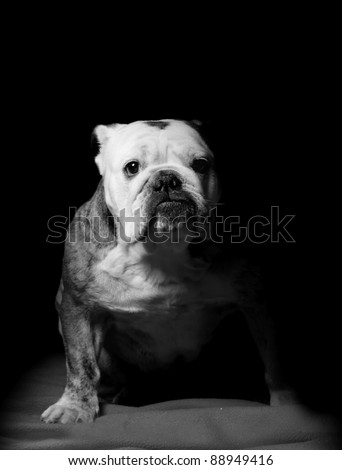 bulldog on black - stock photo