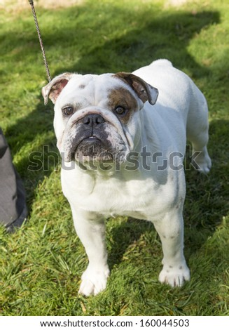 Bulldog outdoors posing on the grass - stock photo