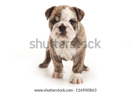 Bulldog puppy standing on white background - stock photo