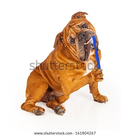 Bulldog sitting down and brushing his teeth with a blue toothbrush that has toothpaste bubbles  - stock photo