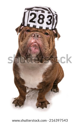 Bulldog wearing a prisoners hat studio cutout - stock photo