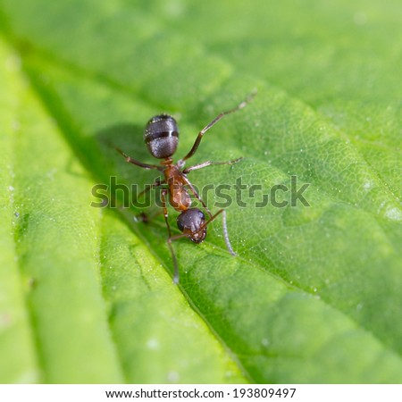 Bullet ant in the Jungle of amazonas river - stock photo